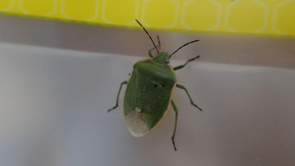 Big Green Bug