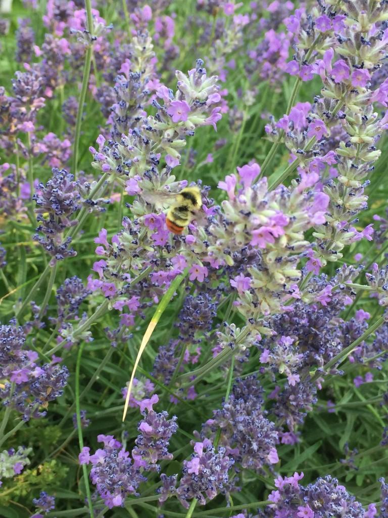 BeeLavender