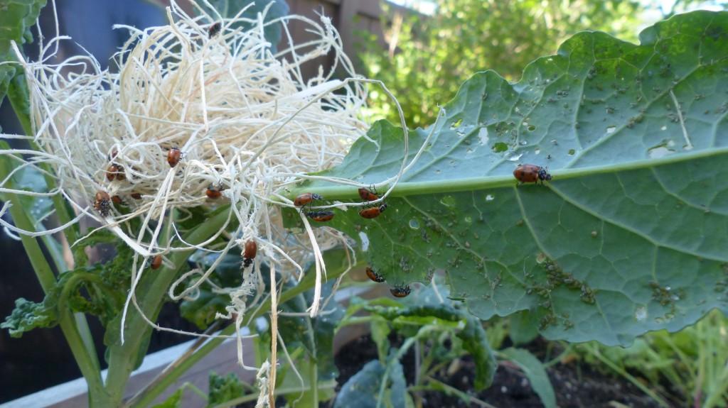 LadybugsReleased